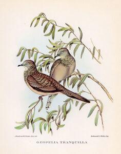 PEACEFUL-GROUND-DOVE-John-GOULD-Large-Color-Bird-of-Australia-Art-Print