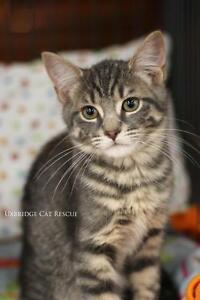 "Baby Male Cat - Tabby - Grey: ""Smokey"""
