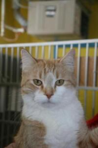 """Young Male Cat - Tabby: """"Tuffy"""""""