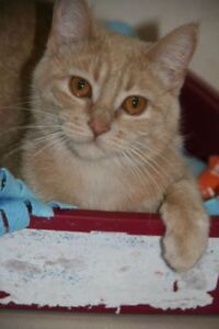"""Young Female Cat - Domestic Short Hair: """"Comet"""""""