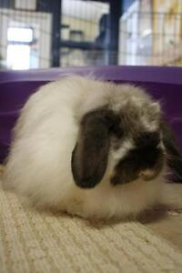 "Adult Female Rabbit - American Fuzzy Lop: ""Mildred"""