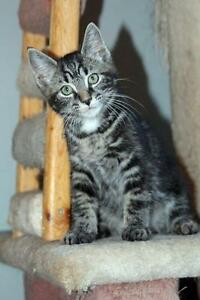 "Baby Male Cat - Tabby - Grey: ""Wilbert"""