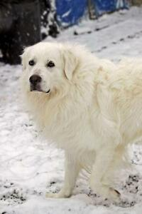 "Adult Male Dog - Great Pyrenees: ""Arrow Oliver"""