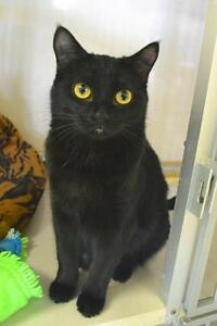 Adult Female  - Domestic Short Hair-Domestic Short Hair-black