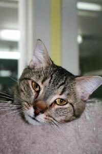 "Young Male Cat - Tabby - Grey: ""Quincy"""