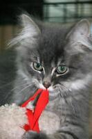 """Baby Male Cat - Tabby - Grey: """"Roly"""""""