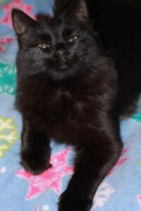 """Young Male Cat - Domestic Long Hair: """"Knight"""""""