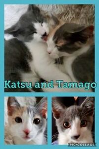 "Baby Female Cat - Domestic Short Hair-Calico: ""Tamago & Katsu"""