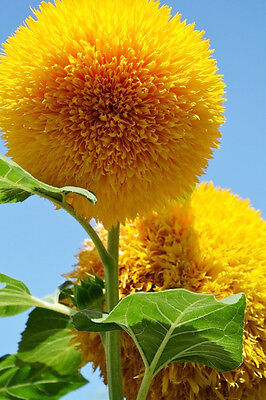 Toy Bear Sunflower Seeds 20 Seeds Helianthus Annus Flower Garden Seeds Hot A023