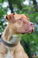 "Adult Male Dog - Pit Bull Terrier: ""Emile"""