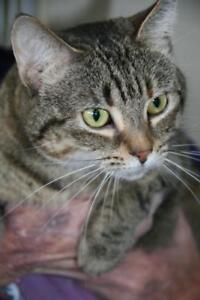 "Adult Female Cat - Tabby: ""Chrissy"""