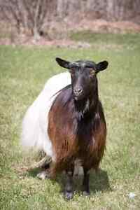 Canadian Blackneck Goats - herd reduction