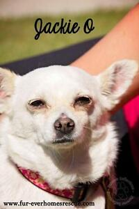 "Adult Female Dog - Chihuahua: ""Jackie O"""