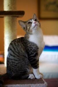 Female Cat - Domestic Short Hair - gray and white-Tabby - Brown London Ontario image 3