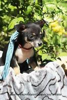 "Baby Male Dog - Miniature Pinscher-Chihuahua: ""Heartly"""
