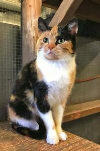 "Adult Female Cat - Domestic Short Hair: ""Jackie"""