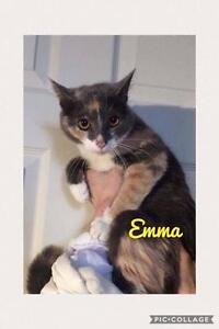 "Adult Female Cat - Domestic Short Hair: ""Emma"""