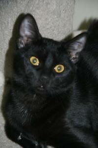 "Baby Male Cat - Domestic Short Hair: ""Dale"""