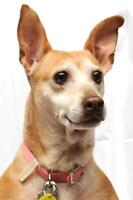 """Young Female Dog - Chihuahua: """"Edie - ADOPTION PENDING"""""""