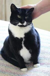 "Adult Female Cat - Tuxedo: ""Dixie"""