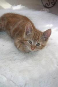 "Baby Male Cat - Tabby (Orange): ""Kodi"""