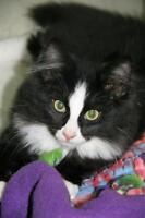 """Baby Male Cat - Domestic Long Hair-black and white: """"Mittens"""""""