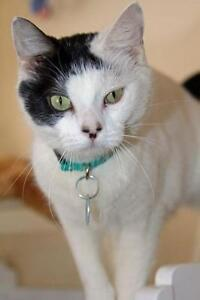 "Adult Female Cat - Domestic Short Hair: ""Peppermint"""
