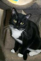 """Young Male Cat - Tuxedo: """"Henry"""""""