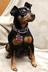 "Adult Female Dog - Miniature Pinscher: ""Hershey - ADOPTED"""