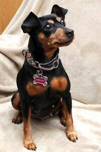 "Adult Female Dog - Miniature Pinscher: ""Hershey - ADOPTED"""