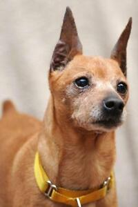 Adult Female  - Miniature Pinscher