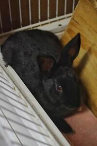 "Baby Female Rabbit - American: ""Blackie"""