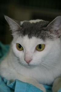 "Young Female Cat - Domestic Short Hair - gray and white: ""Lulu"""