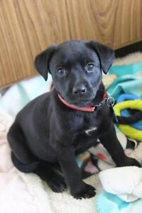 """Baby Female Dog - Pit Bull Terrier-Mixed Breed: """"Kenna"""""""