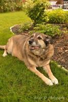 "Senior Female Dog - German Shepherd Dog: ""Sable"""