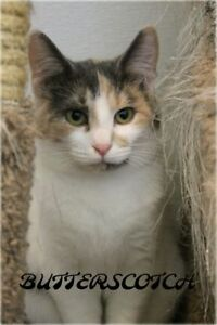 "Young Female Cat - Dilute Calico: ""Butterscotch"""