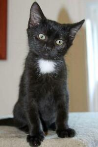 "Baby Male Cat - Domestic Medium Hair-black: ""Boomerang"""