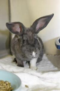 "Young Female Rabbit - American: ""Chai"""