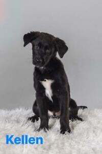 Baby Male  - Labrador Retriever