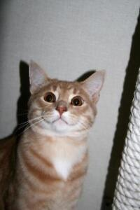 """Young Male Cat - Tabby: """"Tristan"""""""