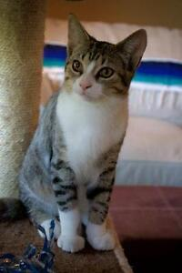 Female Cat - Domestic Short Hair - gray and white-Tabby - Brown London Ontario image 2