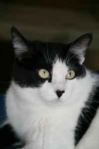 "Adult Male Cat - Domestic Short Hair-black and white: ""Luke"""