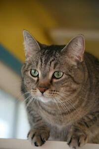 "Adult Male Cat - Tabby - Grey: ""Bobbie"""
