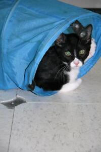 """Young Male Cat - Domestic Short Hair-black and white: """"Jaxson"""""""