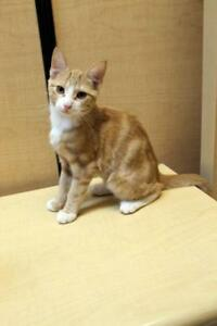 "Baby Male Cat - Domestic Short Hair-Tabby: ""Norman"""