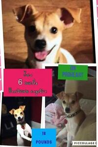"Baby Female Dog - Jack Russell Terrier: ""June"""
