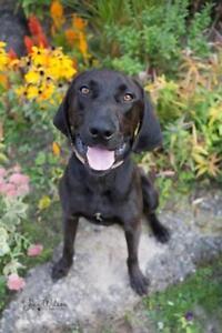 """Young Male Dog - Hound-Labrador Retriever: """"Boone"""""""
