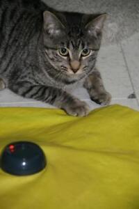 """Baby Female Cat - Tabby: """"Natalie"""""""
