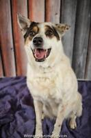 "Adult Female Dog - Australian Cattle Dog (Blue Heeler): ""Peddle"""