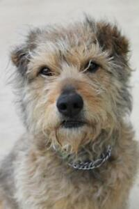 "Adult Female Dog - Terrier: ""April"""